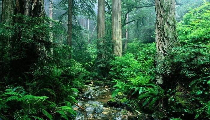 突出体现了:原始森林